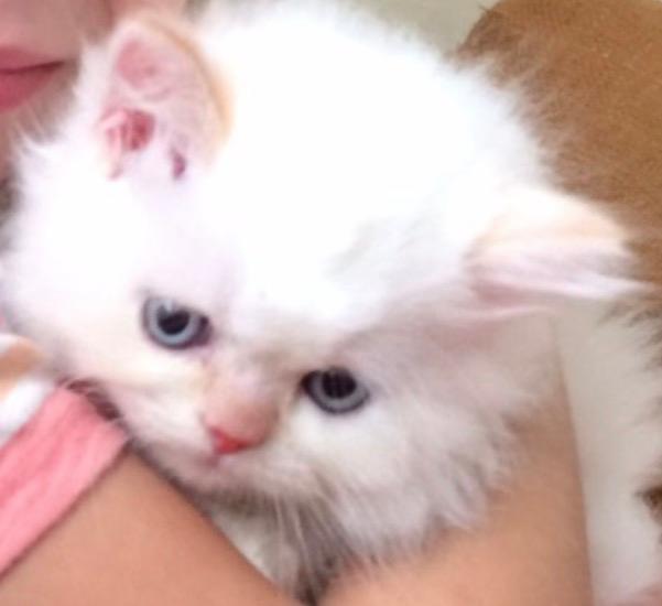 can cats take amoxicillin