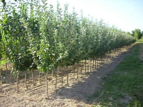Vivai rosetti vivai piante articoli da giardino al for Piante da frutto nord italia