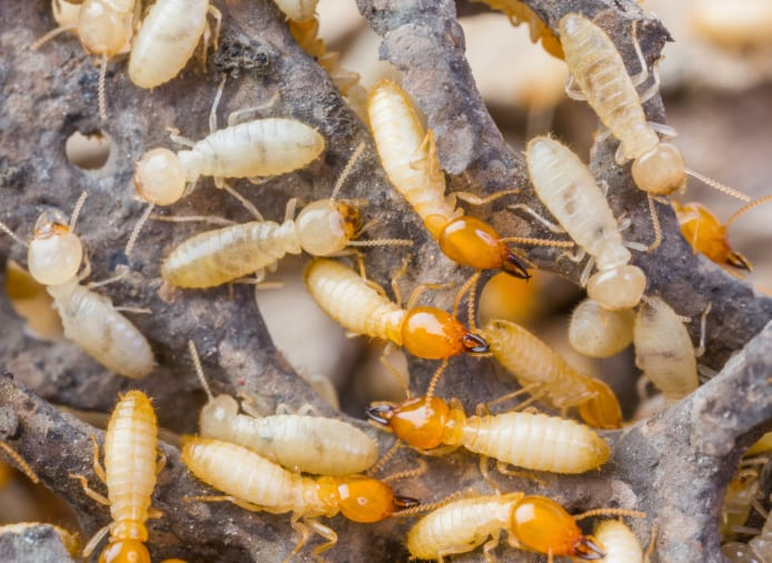 Our trained pest control experts can perform termite treatments on your Lakeland, FL property, eliminating the colonies completely.