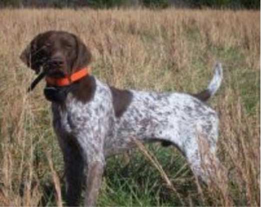 Hunting Dogs For Sale Wichita Ks