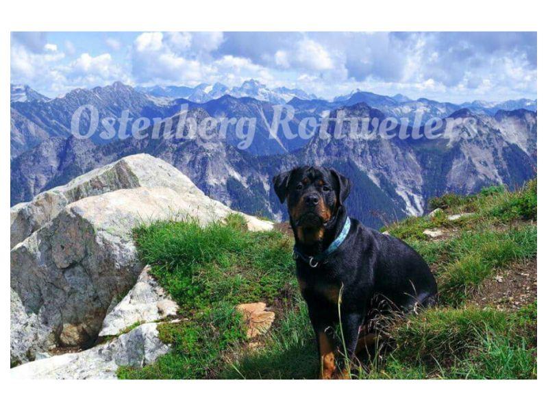 Ostenberg Rottweilers, Snohomish Washington ...