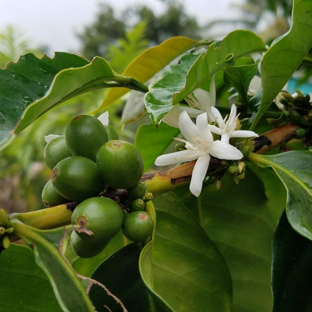 Coffee Tours Near Kona