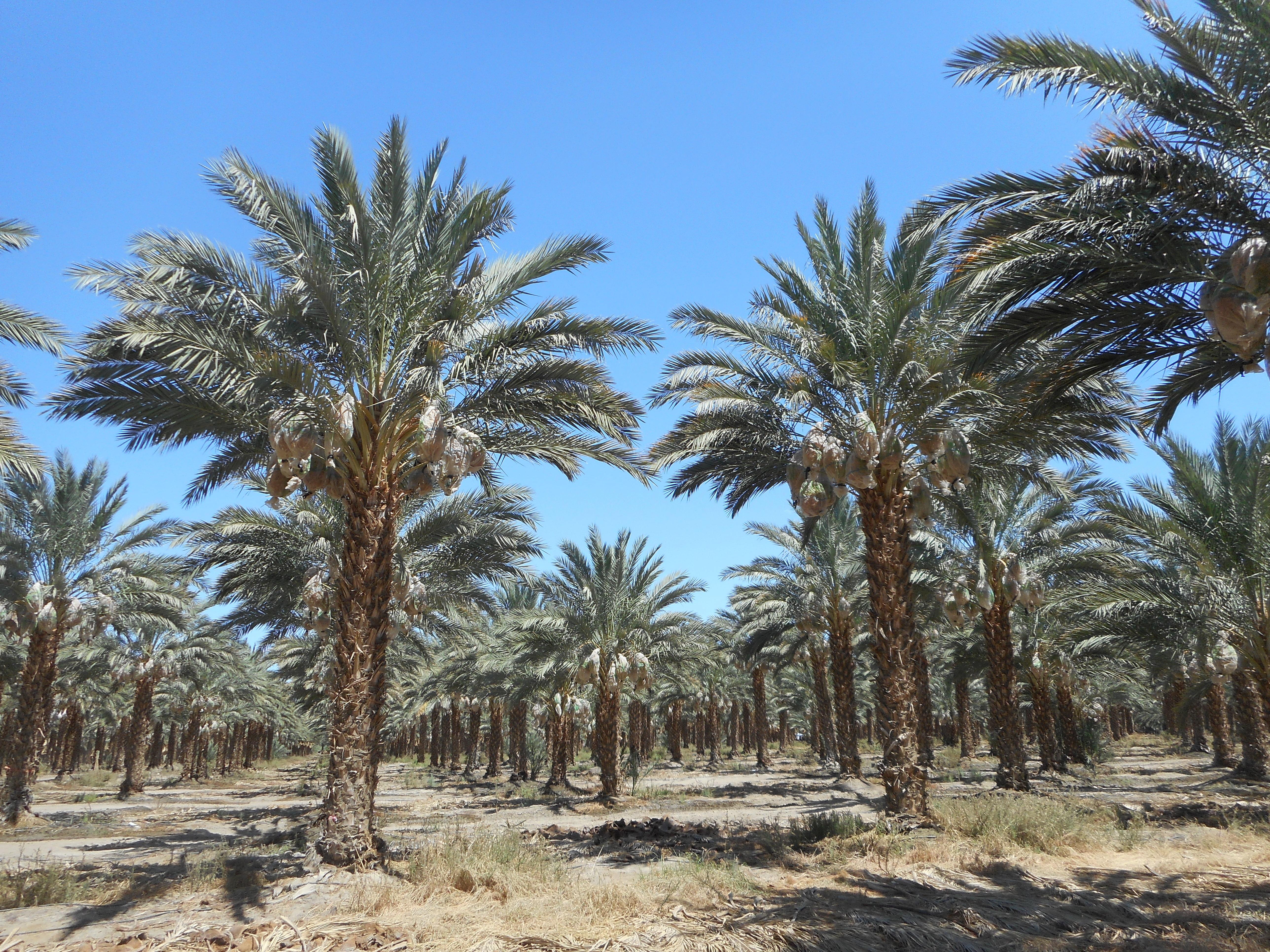 West Coast Trees Borrego Springs California Ca
